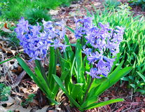 Blue hyacinths Royalty Free Stock Photo