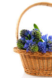 Blue Hyacinths in basket Stock Image