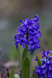 Blue hyacinths blooming Royalty Free Stock Images