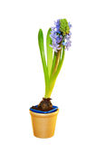 Blue hyacinths blooming in a pot. Royalty Free Stock Images