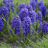 Blue hyacinths blooming. In spring garden Stock Image