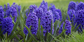 Blue hyacinths blooming. In spring garden Royalty Free Stock Photography