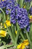 Blue hyacinths Royalty Free Stock Photo