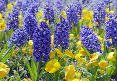 Blue hyacinths Royalty Free Stock Images