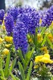 Blue hyacinths Royalty Free Stock Photography