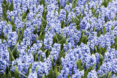 Blue Hyacinths Stock Photos