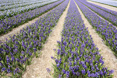 Blue Hyacinths Stock Image