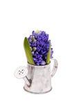 Blue hyacinths in metal bucket Royalty Free Stock Photo