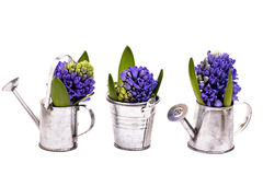 Blue hyacinths in metal bucket and watering cans Stock Photography