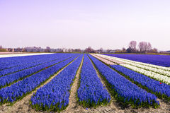 Blue Hyacinths in morning light Stock Photo