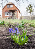 Blue hyacinths and muscari in a garden in early spring Royalty Free Stock Image