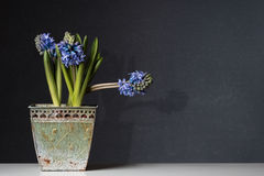 Blue Hyacinths in a old Pot on Table Stock Images