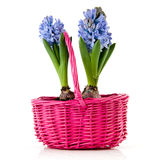 Blue Hyacinths in pink basket Stock Photo