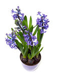 Blue hyacinths in pot Royalty Free Stock Photos