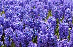 Blue hyacinths Stock Photo