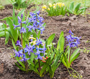 The blue hyacinths in spring garden Stock Photography