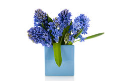 Blue hyacinths in vase Stock Images