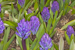 Blue Hyacinthus Stock Photos