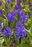 Blue Hyacinthus Royalty Free Stock Photos