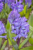 Blue Hyacinthus Stock Photo