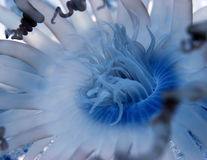 Blue Hydra. Anemone Stock Images