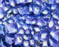 Blue hydrangea Stock Photography
