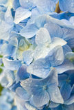 Blue hydrangea. With drop of water Royalty Free Stock Photo