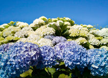 Blue hydrangea Royalty Free Stock Photos