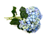 Blue hydrangea Stock Images