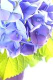 Blue Hydrangea. High key style stock images