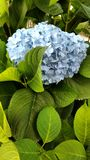 Blue Hydrangea. Aromas of the summer Stock Images