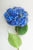 Blue hydrangea of artificial flower. Royalty Free Stock Photography