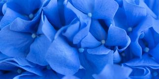 Blue Hydrangea background. Hortensia flowers surface. Macro photo. royalty free stock photo