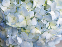 Blue Hydrangea background Stock Photo