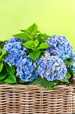 Blue hydrangea. beautiful hortensia Royalty Free Stock Images