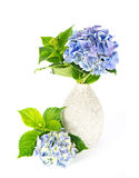 Blue hydrangea. beautiful hortensia Royalty Free Stock Photography
