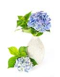 Blue hydrangea. beautiful hortensia Royalty Free Stock Photography