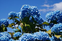 Blue hydrangea. Beautiful blue hydrangeas in full bloom on a early summer day Stock Photo
