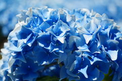 Blue hydrangea. Beautiful blue hydrangeas in full bloom on a early summer day Stock Photos