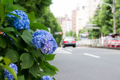Blue hydrangea that bloom along the road Stock Photography