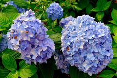 Blue Hydrangea blooming in the nature. Royalty Free Stock Photos