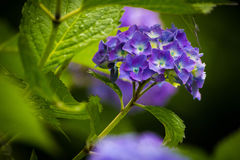 Blue hydrangea. Blooms and leaves Stock Photography