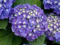 Blue hydrangea blossoms, close-up Stock Images