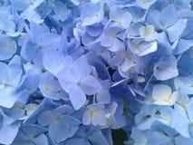 Blue hydrangea blossoms Stock Image
