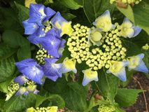 Blue hydrangea. Bluse hydrangea with green buds Royalty Free Stock Image