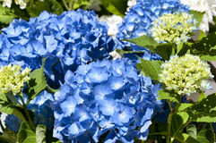 Blue hydrangea Royalty Free Stock Photography