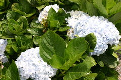 Blue hydrangea bunches Stock Photography