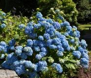 Blue Hydrangea bush Royalty Free Stock Photos