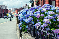 Blue Hydrangea bush on a street Royalty Free Stock Photography