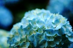 Blue hydrangea close-up. Close-up hydrangea flower head stock photos